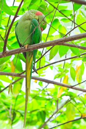 maccaw: alexandrine parakeet psittacula eupatria Colorful parrot Beautiful  Stock Photo