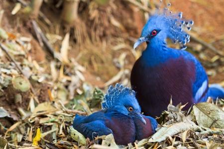 Exotic Bird Goura Victoria photo