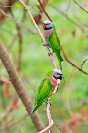 alexandrine parakeet psittacula eupatria Colorful parrot Beautiful  photo