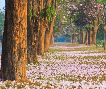blossoming: Pink flowers Tabebuia rosea blossom