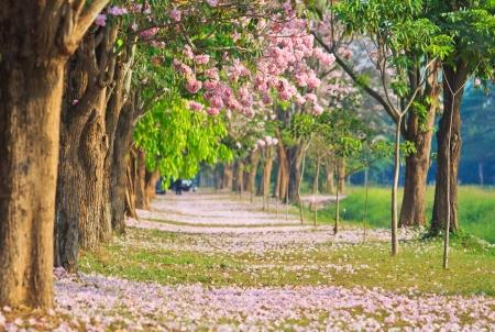 walkway: Pink flowers Tabebuia rosea blossom