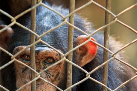 chimpances: Los chimpanc�s en cautiverio Foto de archivo