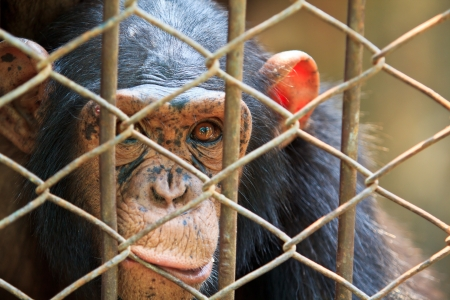 captivity: Chimpanzees in captivity