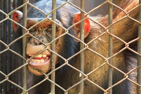 Chimpanzees in captivity
