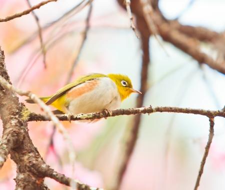 white-eye Vogel op Cherry Blossom en sakura