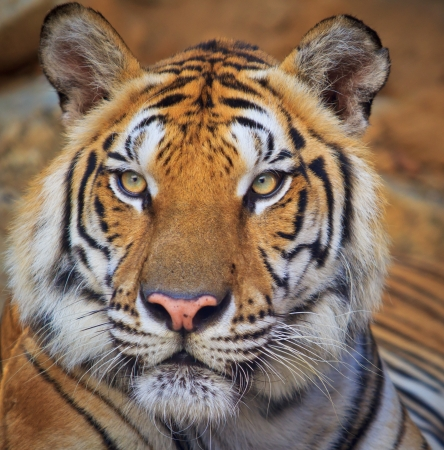 cat head: tiger