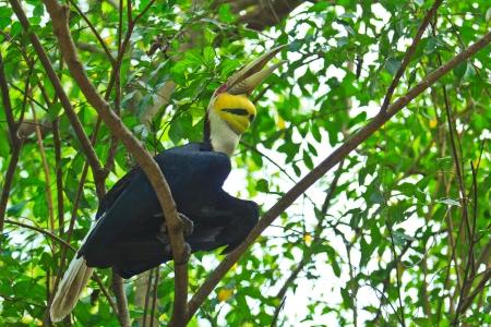 strikingly: Great hornbill