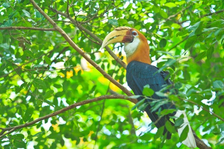 strikingly: Great hornbill