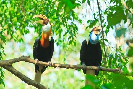 Great hornbill  photo