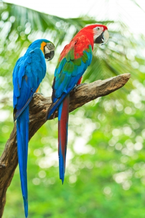 tropical bird: macaw parrot