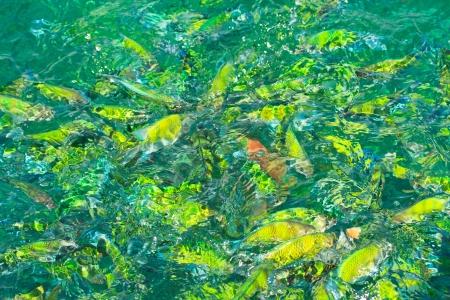 cichlids: Fish in the sea Phi Phi Island thailand