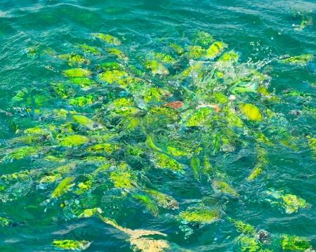 mabul: Fish in the sea Phi Phi Island thailand