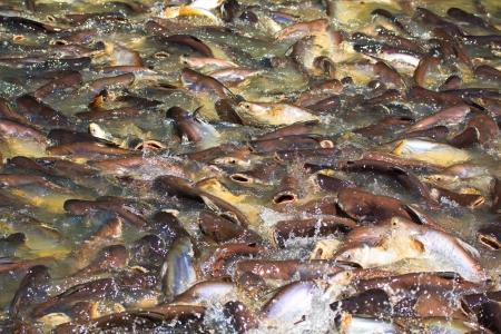 Iridescent shark Fish Striped catfish Stock Photo - 19735845