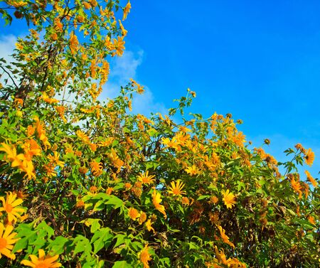 Mexican Sunflower Weed and Tithonia diversifolia  photo