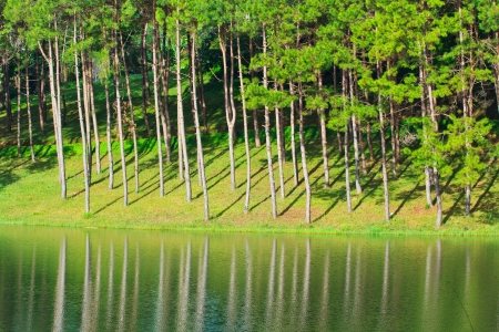 Pine forest along the waterfront  photo