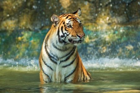 tigre bebe: Tigre Foto de archivo