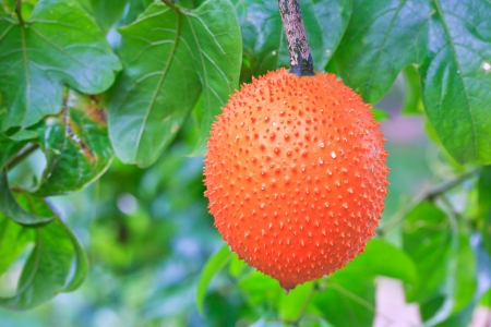 A Southeast Asian fruit, commonly know as Gac, Baby Jackruit, Spiny Bitter Gourd, Sweet Grourd or Cochinchin Gourd  Very delicious and medicinal properties  Stock Photo