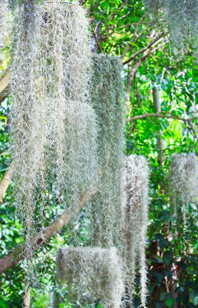 epiphytic: Tillandsia and Moss spain background