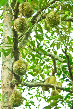 Durian Tropical fruits asia thailand