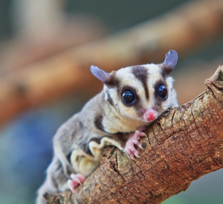 sugerglider and flying squirrel in australia