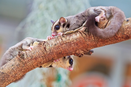 sugerglider and flying squirrel in australia photo