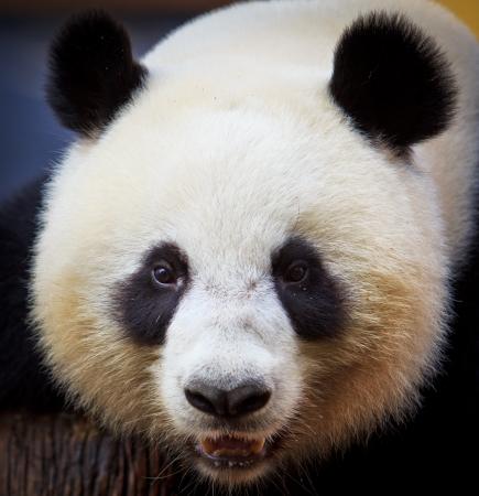 panda bear in thailand photo