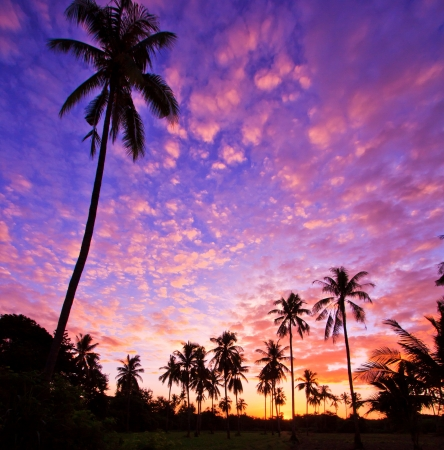 coconut palm tree: View silhouetted of coconut tree