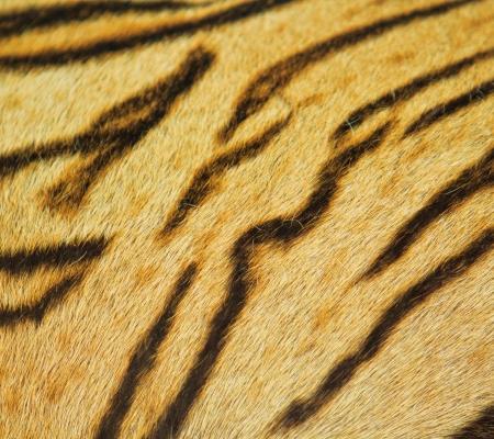beautiful tiger fur texture of real tiger skin and fur  photo