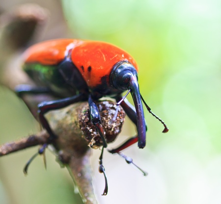 Orange beetle insects In tropical forests thailand  photo