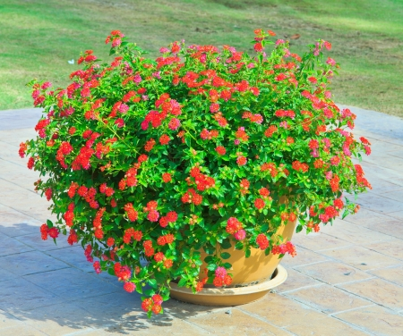 Red Flowers in pots  photo
