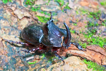 rhinoceros beetle in the wild in  Phu Soi Dao National Park  asia southeast asian thailand  photo