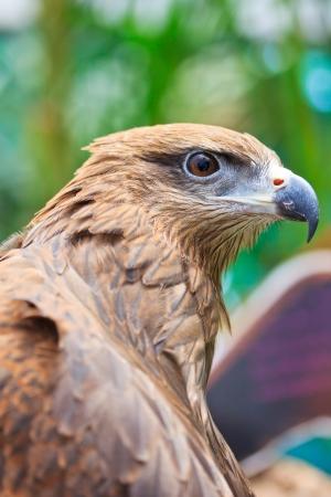 milvus: Closeup Black Kite  Milvus migrans   Stock Photo