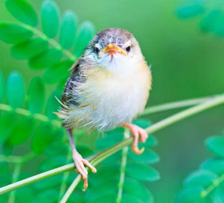 aviary: Bird squab learn to fly  Common Tailorbird  southeast asia and asian thailand