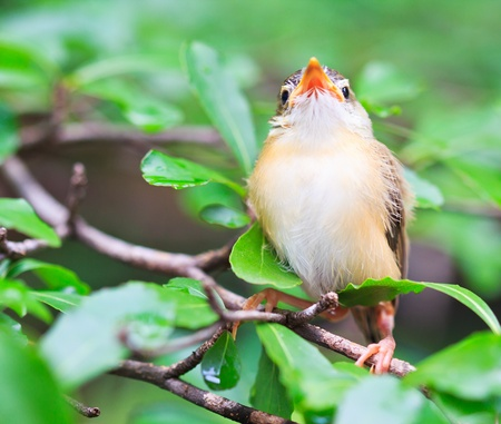 Bird squab learn to fly  Common Tailorbird  southeast asia and asian thailand
