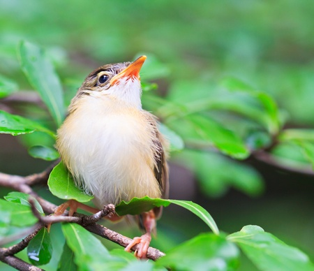watchful: Bird squab learn to fly  Common Tailorbird  southeast asia and asian thailand
