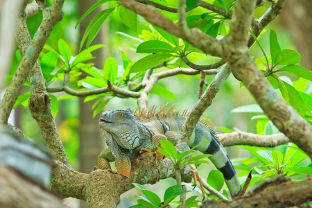 species of creeper: Green Iguana
