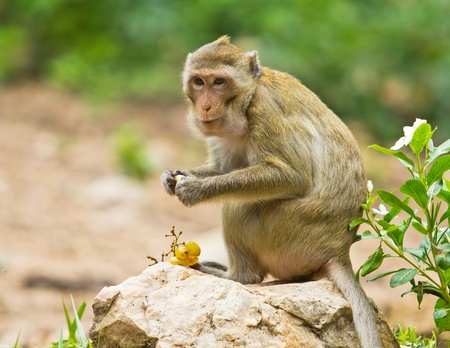 monkey eating fruit photo
