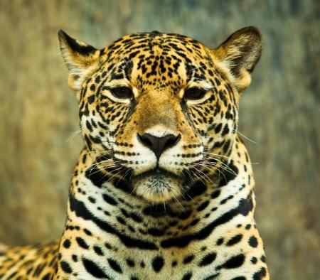jaguar: Jaguar y vivió en América Central y América del Sur Foto de archivo