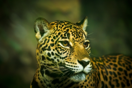 Jaguar and lived in Central America and South America  photo