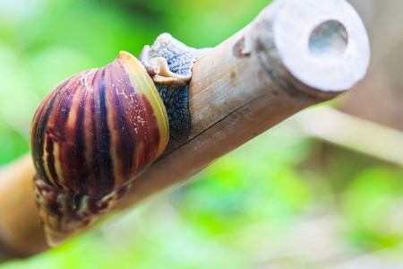mollusc: Snail In the wild asia thailand