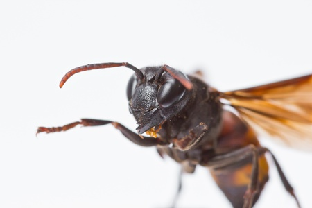 Closeup wasps are aggressive insects  photo