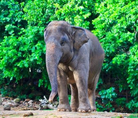 De olifant van Azië Zuidoost-Azië Thailand