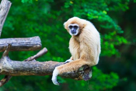 gibbon: Gibbon  Stock Photo