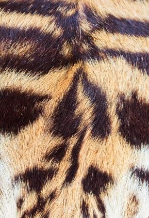 beautiful tiger fur - colorful texture with orange, beige, yello  photo