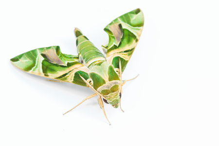 sphingidae: Moth-Guard Month wraps and Oleander Hawk-moth  Daphnis nerii  male and female asia thailand  Stock Photo