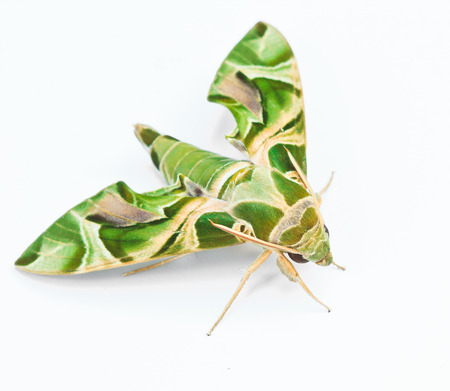 deilephila: Moth-Guard Month wraps and Oleander Hawk-moth  Daphnis nerii  male and female asia thailand  Stock Photo