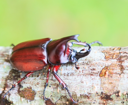 Scarab beetle and Rhinoceros Beetle in Doi Inthanon National park Chiang Mai Province Asia Thailand  photo