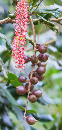 macadamia nuts hanging on tree in Doi Inthanon National park Chiang Mai Province Asia Thailand  photo