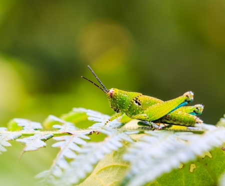 Green grasshopper grasshopper perching on green leaf at Doi Inthanon National park in Chiang Mai, Province Asia Thailand  photo