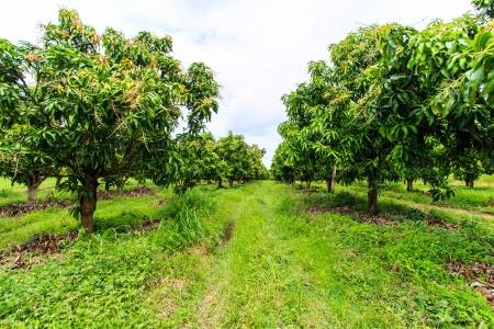 farm fresh: Frutteti di mango Archivio Fotografico